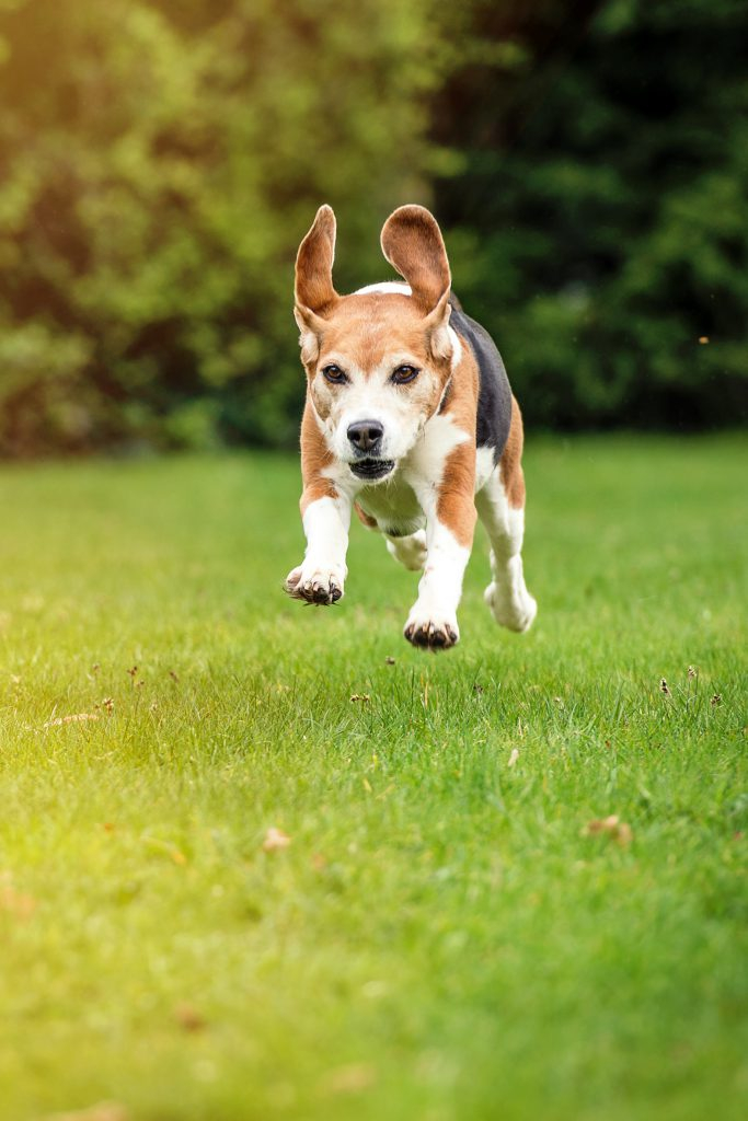 Beagle im Sprung