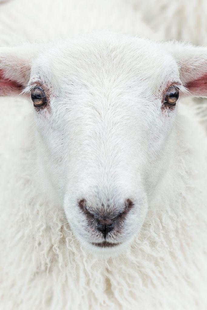 Schaf im Porträt