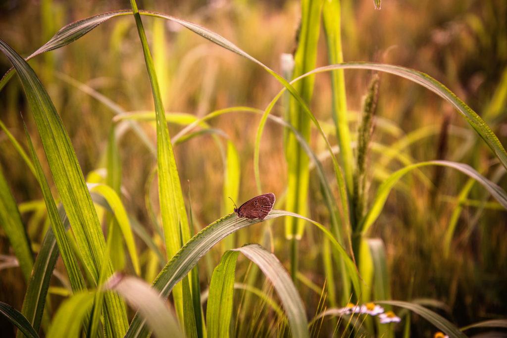 Schmetterling auf Gräsern