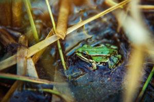 Frosch in der Natur